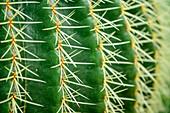 Cactus, Botanical Garden, Munich, Upper Bavaria, Bavaria, Germany