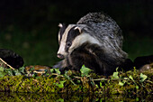 Badger drinking at the pool, italian alps, Piedmont, Italy, Europe