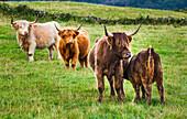 Highland cattle grazing in fields,Scottish Highlands, Scotland