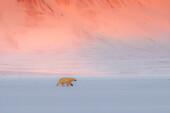 Female polar bear (ursus maritimus) in Billefjorden, in front of the ghost town of Pyramiden, Norway