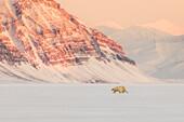 Polar bear (ursus maritimus) in Billefjorden, near Pyramiden, in western Spitsbergen Island, Svalbard.