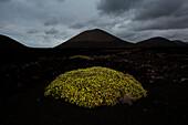 A green bush on the black volcanic sand, Timanfaya National Park, Lanzarote, Canary island, Spain, Europe