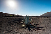 Aloe vera in Timanfaya National Park, Lanzarote, Canary island, Spain, Europe