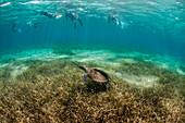 Group of snorkelers with turtle underwater off coast of Roatan Island reef, Honduras