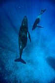Humpback whales swimming in ocean, Kingdom of Tonga, Ha'apai Island group, Tonga