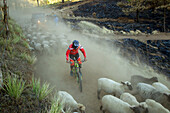 Biker riding in dust between flock of moving sheep, Tenango, State of Mexico, Mexico