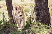 Front view of single lioness (Panthera leo) walking near trees, Masai Mara National Reserve, Kenya