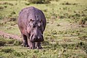 Nature photograph with front view of hippopotamus (Hippopotamus amphibius), Masai Mara National Reserve, Kenya