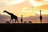Tranquil scene with giraffes and wildebeests silhouetted at sunset, Masai Mara National Reserve, Kenya