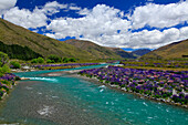 Clouds and vibrant blue sky over Ahuriri River lined with field of blooming lupines, New Zealand