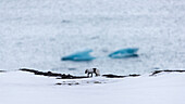 Side view of lone Arctic fox (Alopex lagopus) walking on snow with Arctic Ocean in background, Ny-Alesund, Spitsbergen, Svalbard and Jan Mayen, Norway