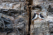 Arctic nature photograph of two Atlantic puffins (Fratercula arctica) perching on side of cliff, Spitsbergen, Svalbard and Jan Mayen, Norway