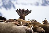 Arctic nature photograph of group of walruses (Odobenus rosmarus) resting together, Spitsbergen, Svalbard and Jan Mayen, Norway
