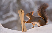 Cute winter sport themed photograph with a single red squirrel with skis and ski poles