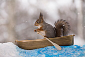 Side view shot of a single cute red squirrel paddling in rowboat