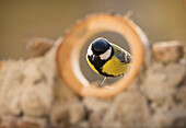Beautiful nature photograph of a single great tit (Parus major)