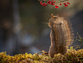 Beautiful cute nature photograph with rear view of a red squirrel