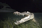 Morelet's Crocodile hunting at Night, Crocodylus moreletii, Cancun, Yucatan, Mexico