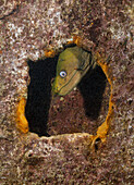 Panamic Green Moray Eel at Fang Ming Wreck, Gymnothorax castaneus, La Paz, Baja California Sur, Mexico