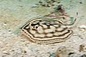 Bullseye Round Stingray, Urobatis concentricus, La Paz, Baja California Sur, Mexico
