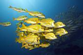 Panamic Porkfish, Anisotremus taeniatus, Cabo Pulmo, Baja California Sur, Mexico