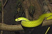 Eastern Green Mamba, Dendroaspis angusticeps, Kenia