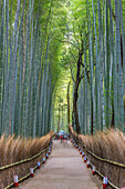 Japan, Kyoto City, Arashiyama Bambu Grove