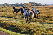England, Hampshire, New Forest, Horses Galloping