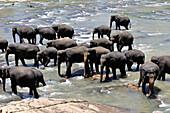 Sri Lanka, 2017. Sigiriya, elephant orphanage. Elephant baths.