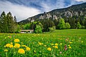 Alpine meadow with flowers, alpine hut and rocks in background, Hochries, Chiemgau Alps, Chiemgau, Upper Bavaria, Bavaria, Germany