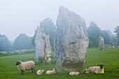 UK, United Kingdom, Great Britain, Europe, Britain, England, Wiltshire, Avebury, Avebury Circle, Archaeology, Archaeological Site, Sheep, Lambs, Animals, UNESCO, World Heritage, Site