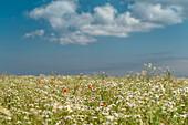 Chamomile, Poppy, Field, Sky, Wulfen, Fehmarn, Baltic Sea, East-Holstein, Schleswig-Holstein, Germany, Europe