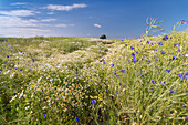 Chamomile, Cornflower, Field, Sky, Däschendorf, Fehmarn, Baltic Sea, East-Holstein, Schleswig-Holstein, Germany, Europe