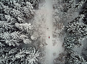 Woman on cross country skiers  with her dog in a snow covered conifer forest, Graefelfing, Bavaria, Germany