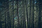 Mossy forest in front of Vernagt reservoir, E5, Alpenüberquerung, 6th stage, Vent,Niederjochbach, Similaun hut, Schnalstal, Vernagt reservoir, Meran