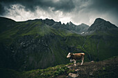 cow in the mountains, E5, Alpenüberquerung, 1st stage Oberstdorf Sperrbachtobel to Kemptnerhütte, Allgäu, Bavaria, Alps, Germany