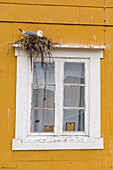 Seagull in the nest at a windowedge, Nusfjord, Lofoten Islands, Norway