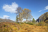 Birch in autumn,  Folgefonna national park, Hordaland, Fjord norway, Southern norway, Norway, Scandinavia, Northern Europe, Europe