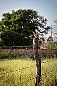 yellow bird sitting at pole of barbed wire, Barichara, Departmento Santander, Colombia, Southamerica