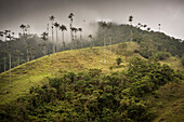 cows at Cocora Valley, endemic wax palm trees, Salento, UNESCO World Heritage Coffee Triangle, Departmento Quindio, Colombia, Southamerica