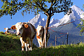 Three calves graze under a pear tree in the Berchtesgadener Land, in the background the Watzmann massif