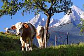 drei Kälber weiden unter einem Birnbaum im Berchtesgadener Land, im Hintergrund das Watzmann-Massiv