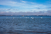 Group a gleaming white swans in the warm morning light on the blue water, a barge in the background and the three Chiemsee Islands