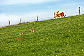 Two rabbits playing on a grass slope in the sun, above is a calf on the fenced pasture