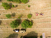 Aerial view of the harvest with the old tractor and nostalgic cuboid press, a second tractor pulls the hanger with ready-to-use straw bales through the orchards