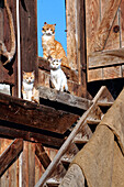 Three red cats sitting at a wooden staircase in the sun