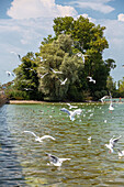 White gulls in search of food at the Chiemsee