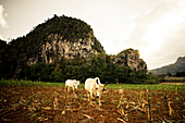 Cattle on field, Valle de Vinales, UNESCO National Park,  Pinar del Rio, Cuba, Caribbean, Latin America, America