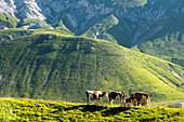 Im Sommer weiden Kühe auf der Hochebene Campo Imperatore, Gran Sasso Nationalpark, Abruzzen, Italien