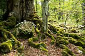Ein Wald aus uralten Buchen nahe der Einsiedelei Eremo di St. Antonio, Eremo di St. Antonio, Abruzzen, Italien